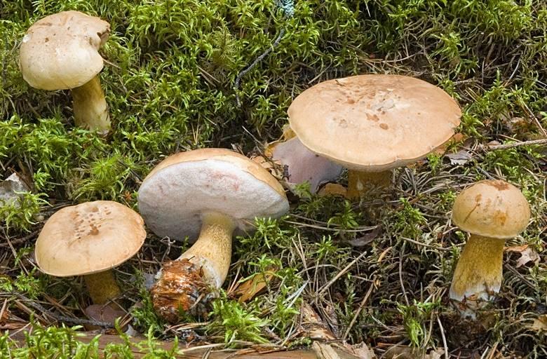 Горчаки грибы фото