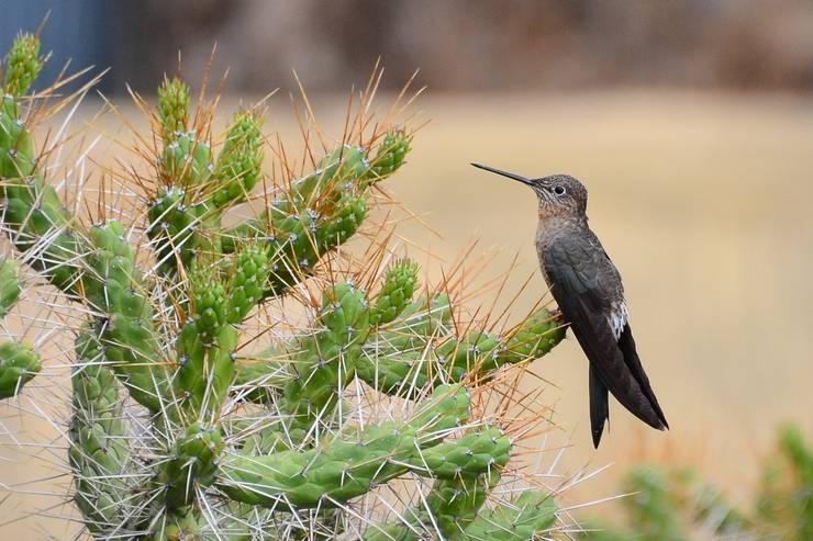 Исполинский колибри фото