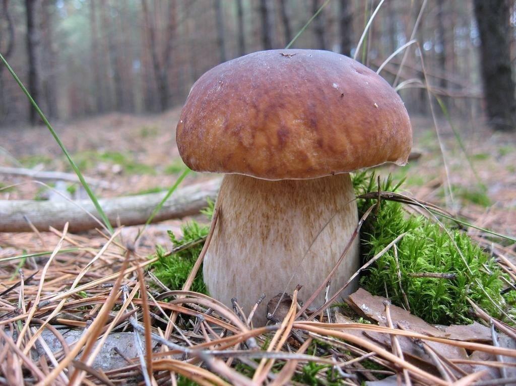 Ножка белого гриба