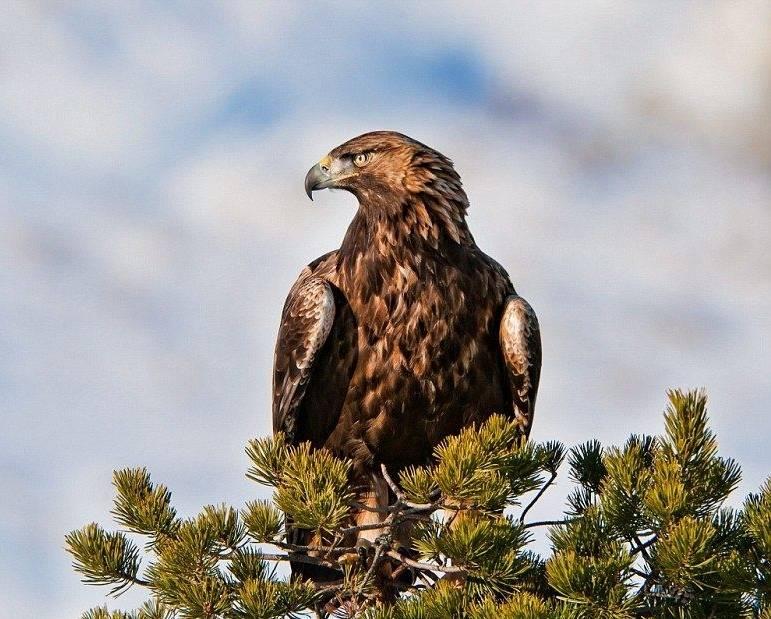 Орел беркут фото