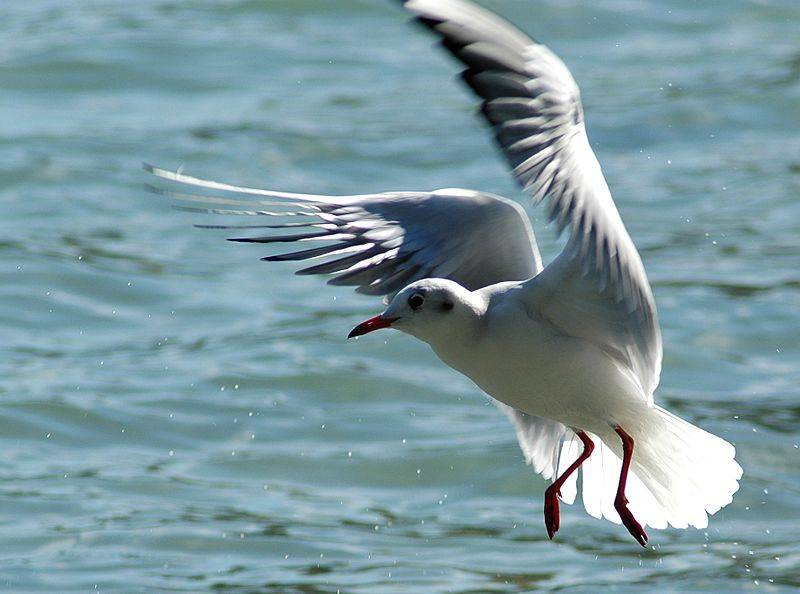 Фото птица чайка