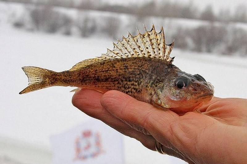 Фото рыба ерш обыкновенный