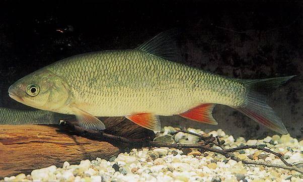 как выглядит рыба язь фото