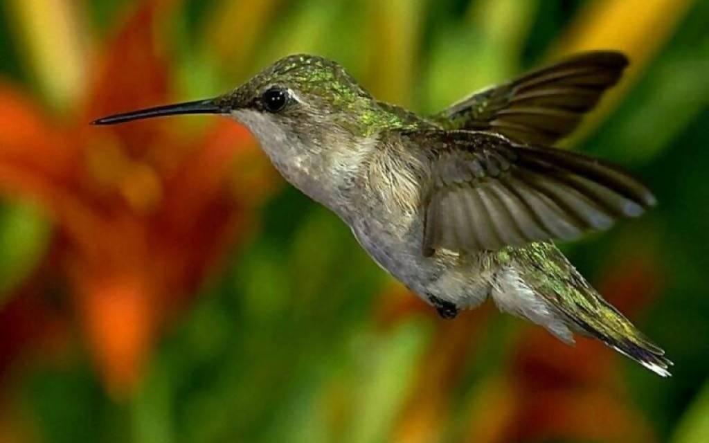 Самая маленькая птица в мире колибри фото