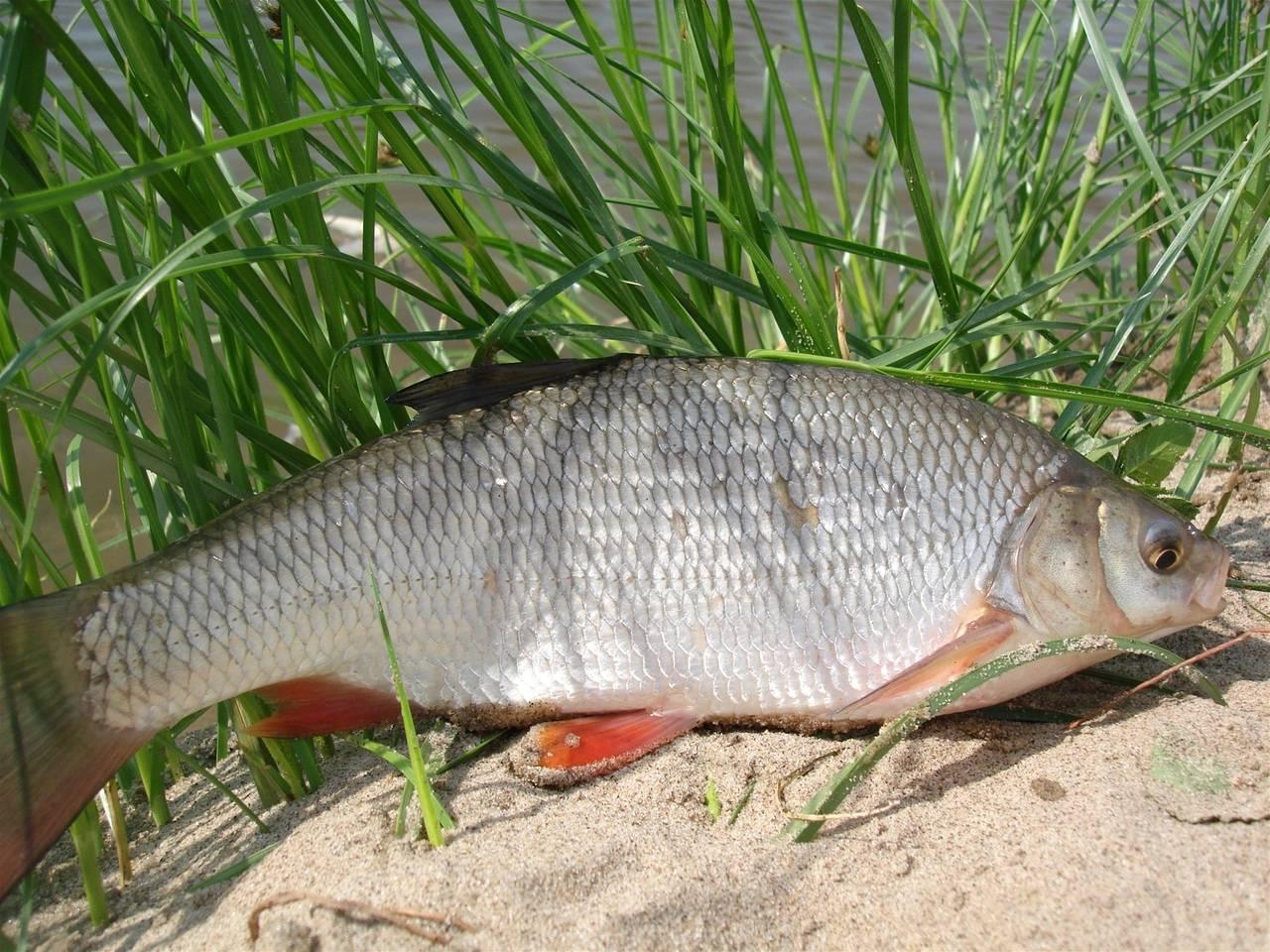 фото рыба язь