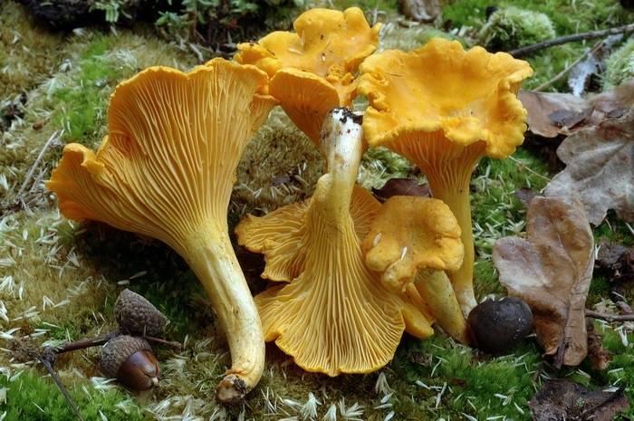 Лисичка обыкновенная (настоящая лисичка, петушок) (лат. Cantharellus cibarius)