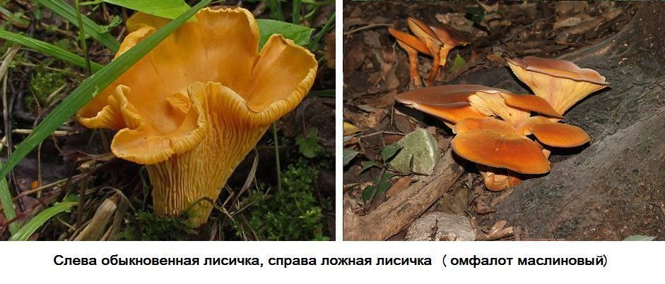 Как отличить ложные лисички от съедобных фото