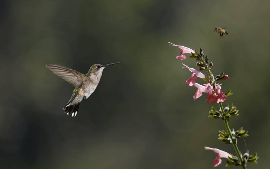 Колибри-пчелка фото