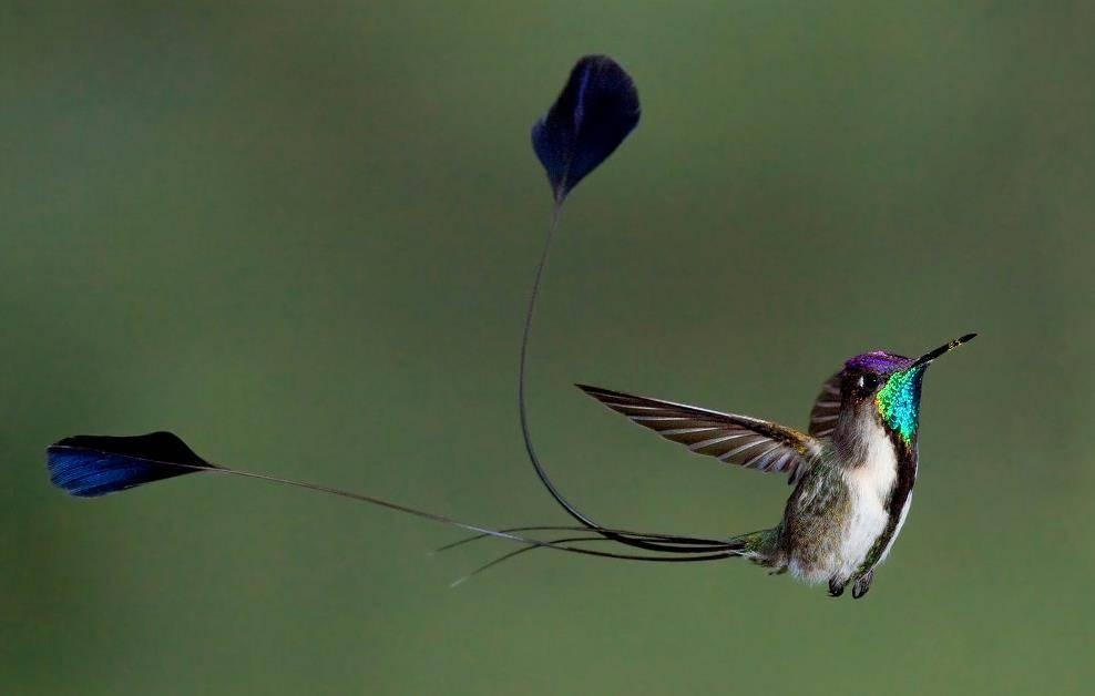 Лоддигезия (ракетохвостый колибри) фото