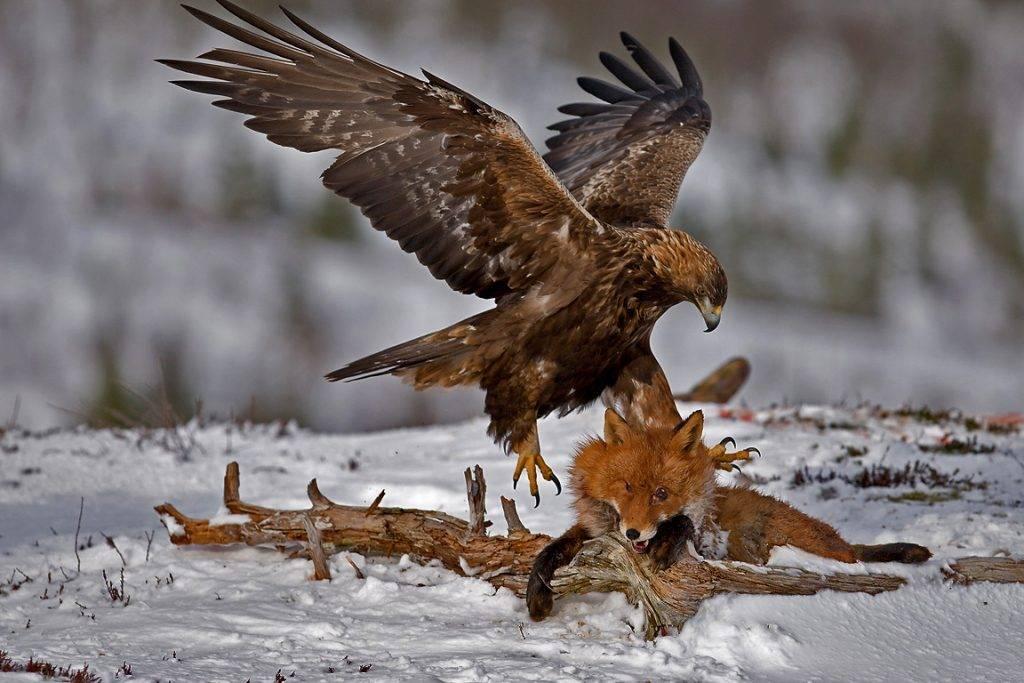 Орел беркут охотится на лису
