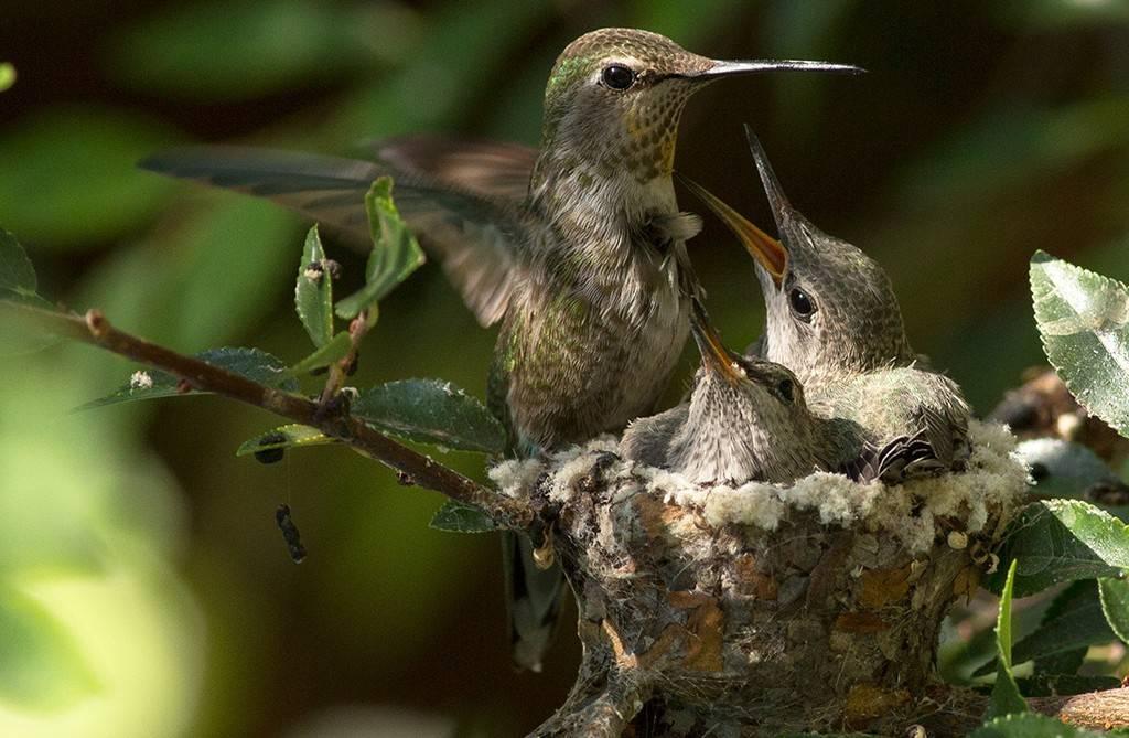 Птенец колибри в гнезде фото