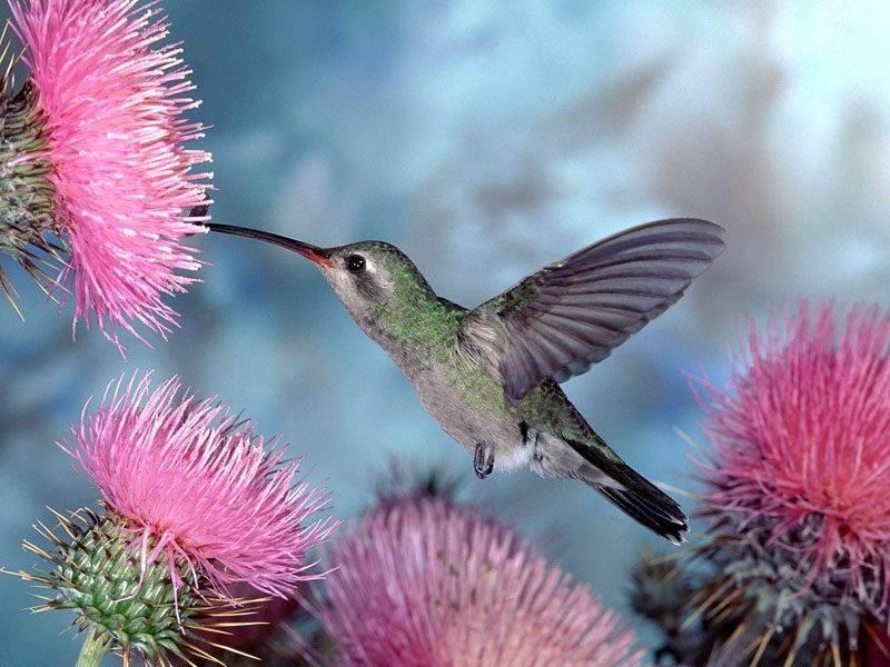 Птичка колибри фото