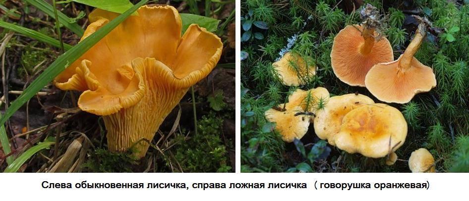 Съедобная лисичка и ложная лисичка отличия фото