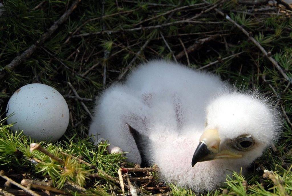 Яйцо и птенец беркута
