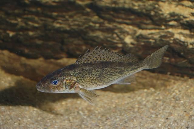 ерш обыкновенный рыба фото