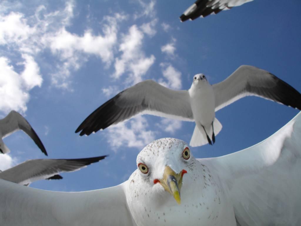 жирная чайка фото