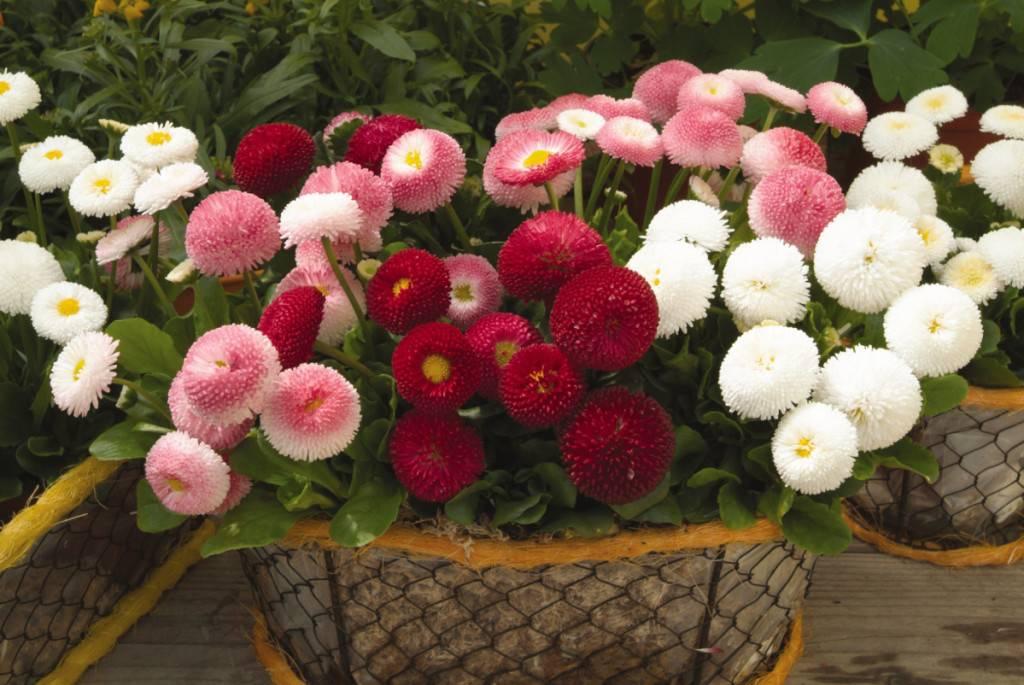 картинка маргаритки фото цветов