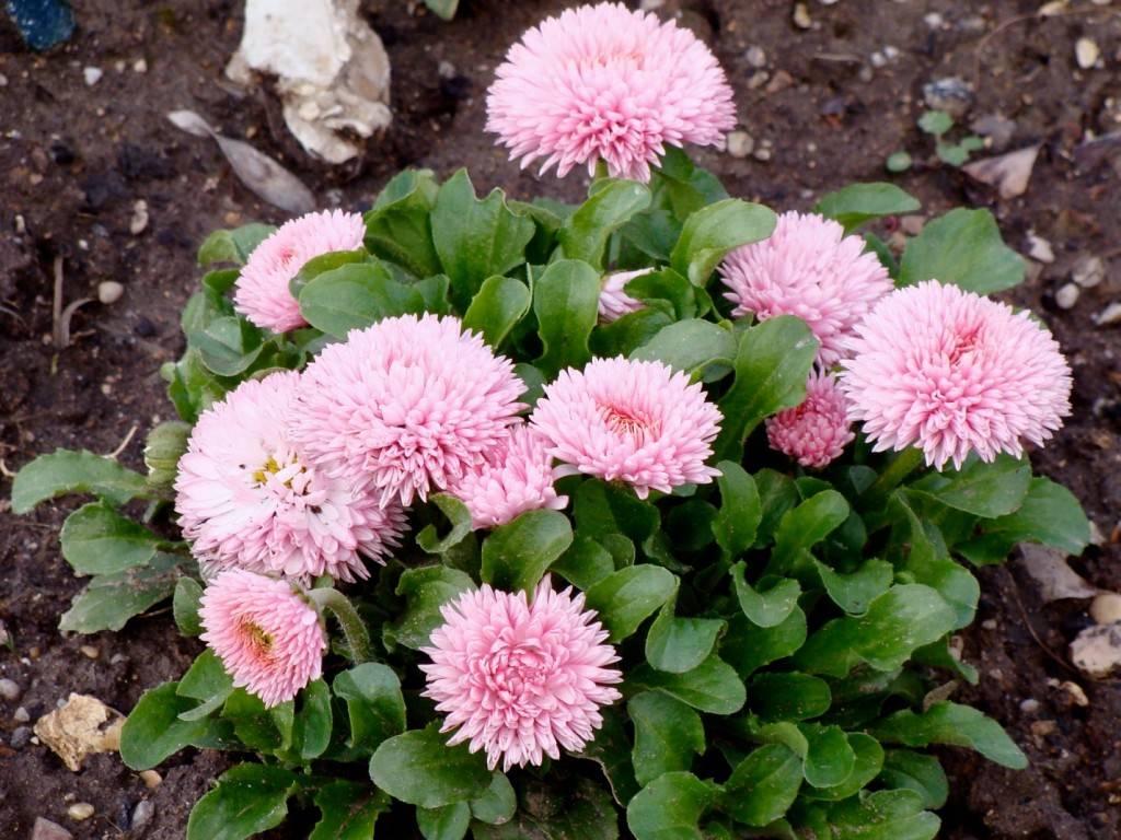 картинка маргаритки цветов фото