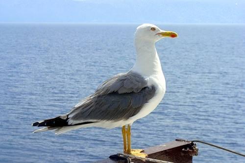 птица чайка фото