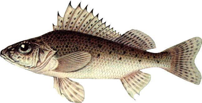рыба ерш обыкновенный фото