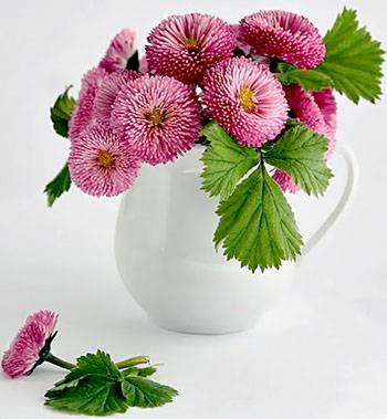 фото картинка маргаритки цветов