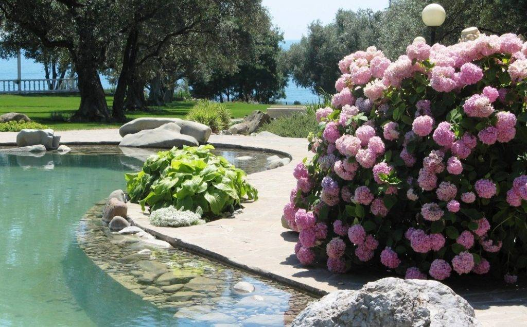 Гортензии в саду фото