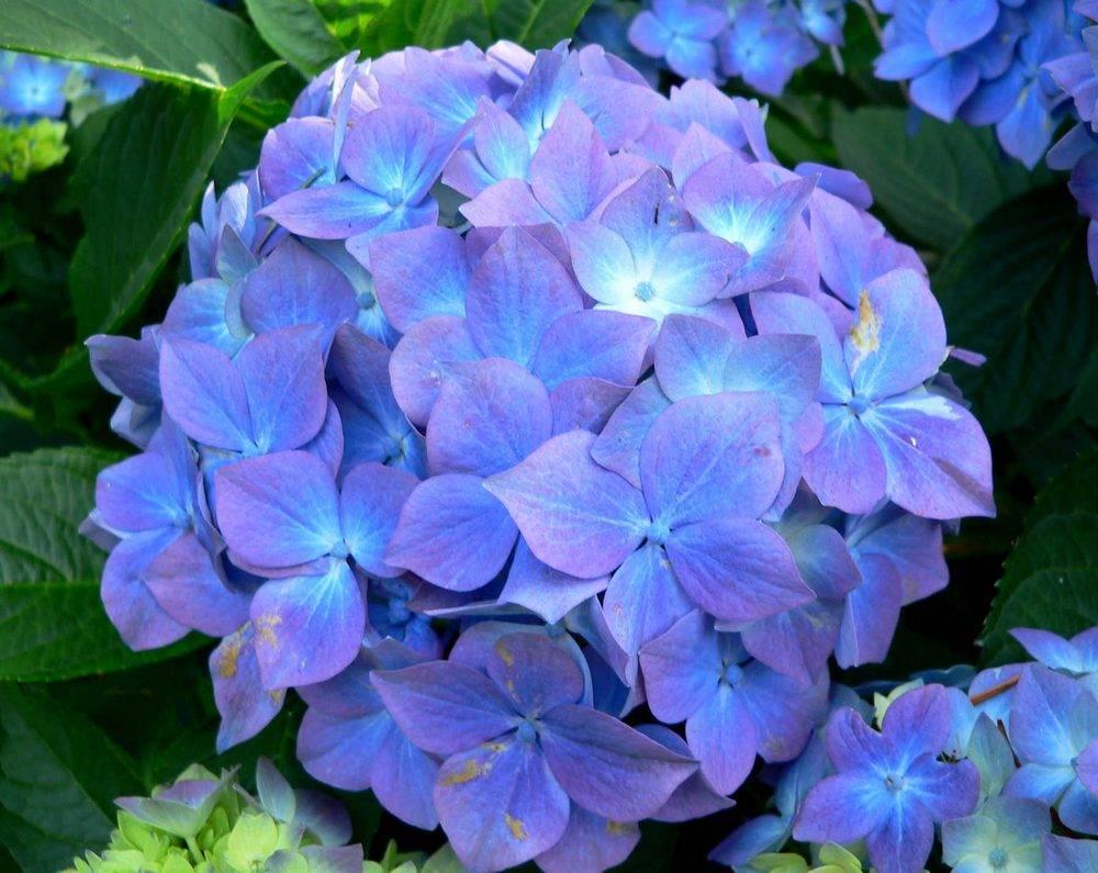 Гортензия крупнолистная синяя фото