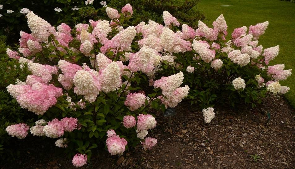 Гортензия метельчатая розовая фото