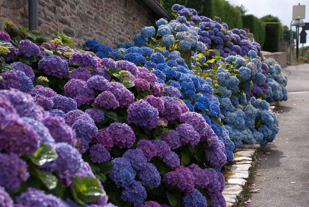 Гортензия фото цветов