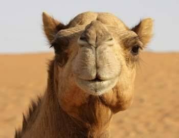 Дромедар дромадер одногорбый верблюд фото