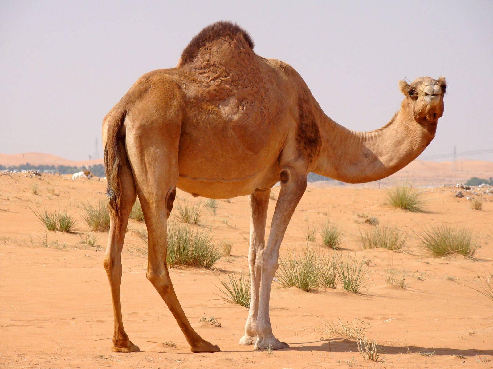 Верблюд лежит картинки