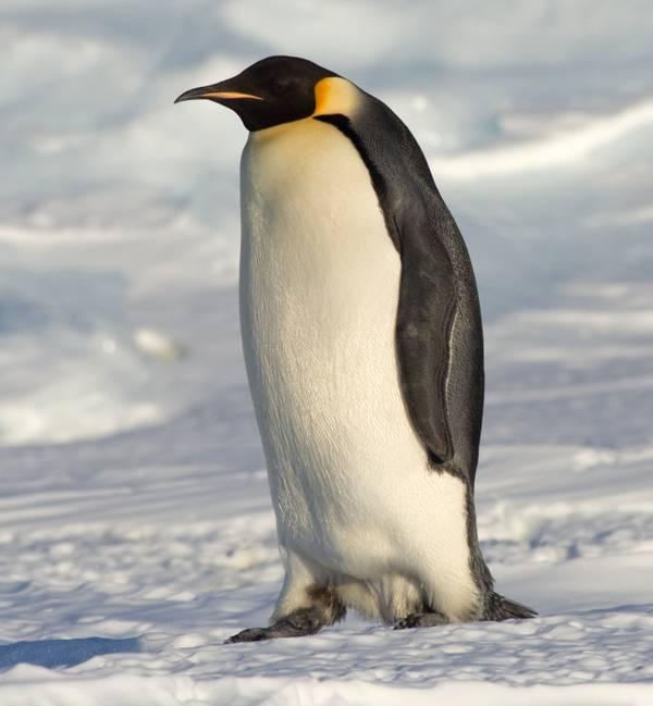 Окрас императорского пингвина фото (лат. Aptenodytes forsteri)