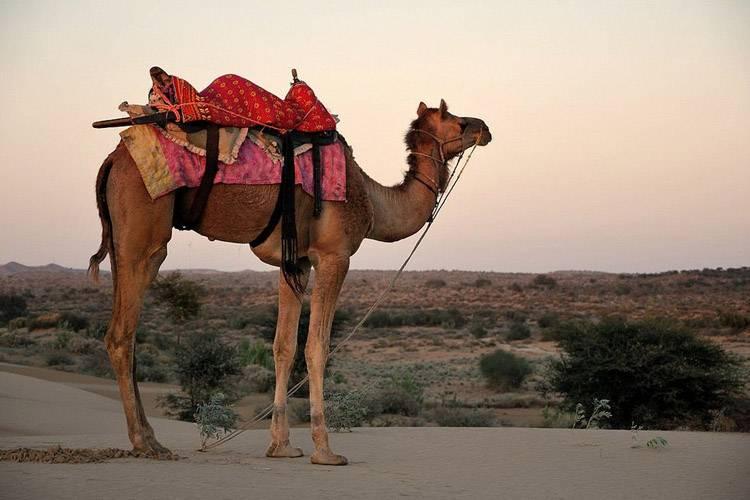 Фото дромедар дромадер одногорбый верблюд