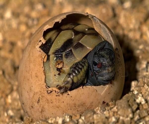 Фото среднеазиатская черепаха, картинка