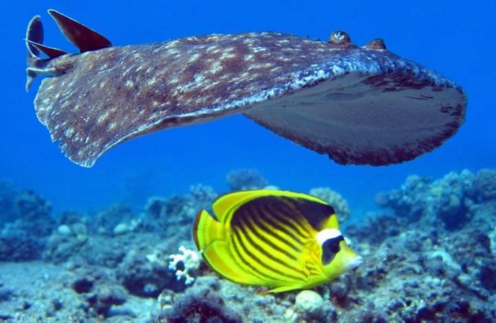 Фото электрический скат и рыба