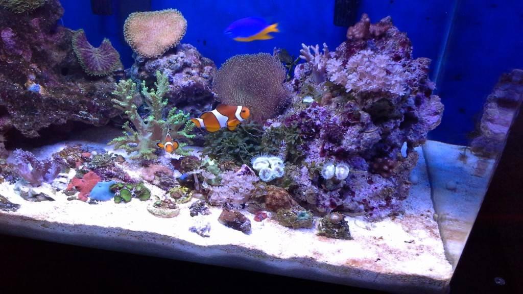 Рыба клоун (амфиприон) фото картинки