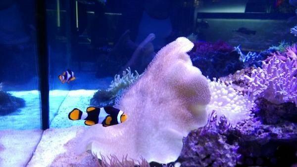 Рыба клоун (амфиприон) фото, картинки