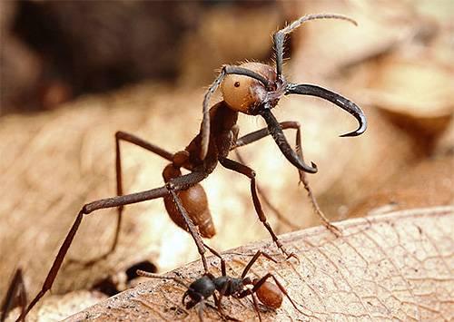 самые опасные в мире армейские муравьи фото