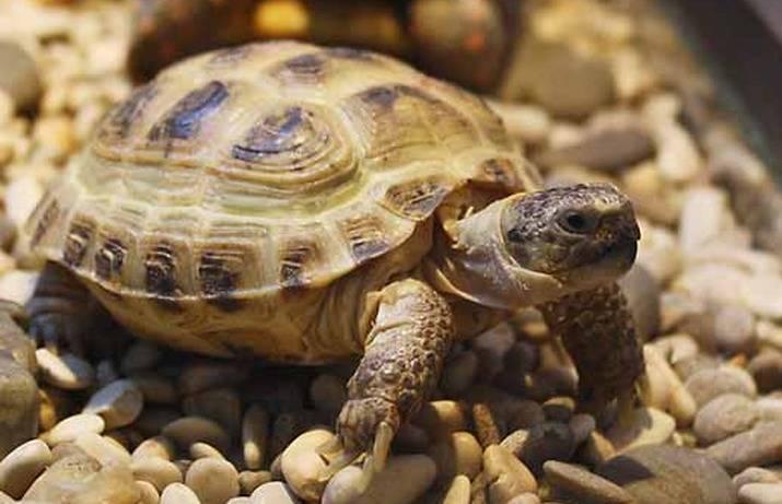 среднеазиатская черепаха фото картинка