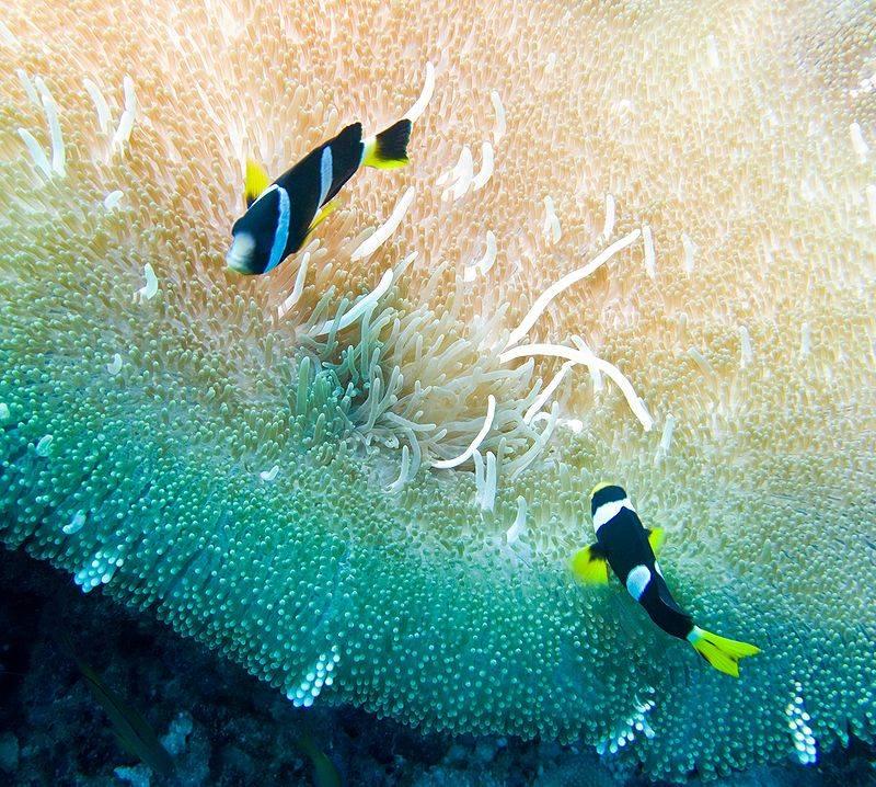 Фото рыба клоун амфиприон картинки