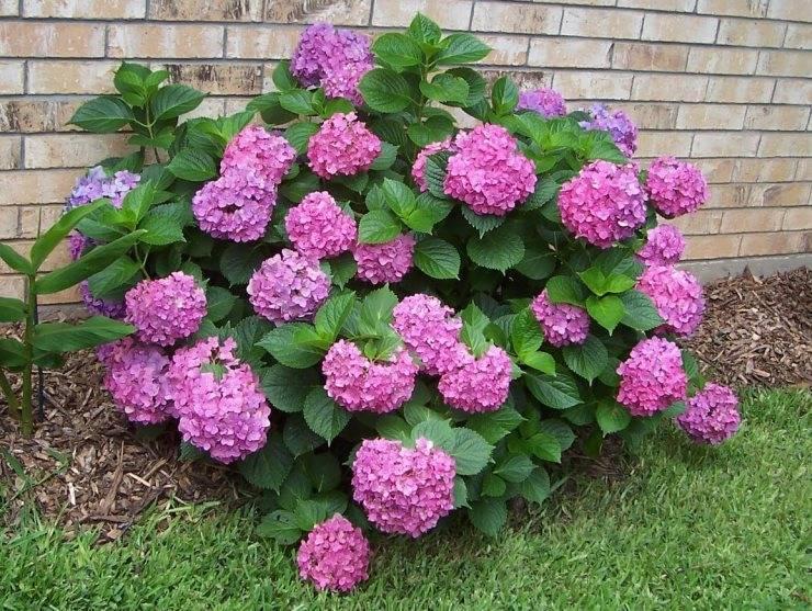 Гортензия розовая (Hydrangea) фото