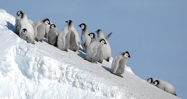 Детеныши императорского пингвина фото (лат. Aptenodytes forsteri)