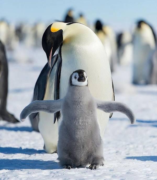 Детеныш императорского пингвина фото (лат. Aptenodytes forsteri)