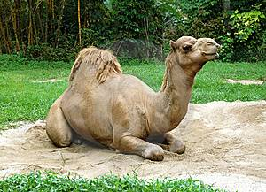 Дромедар дромадер одногорбый верблюд, фото