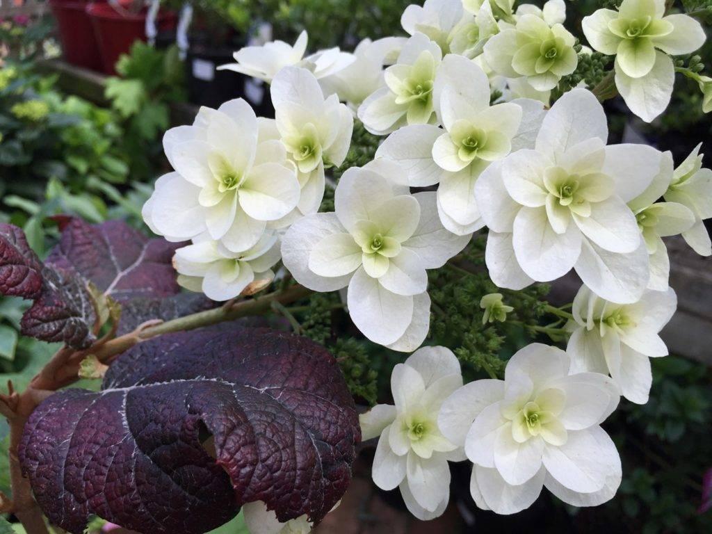 Дуболистная гортензия белого цвета