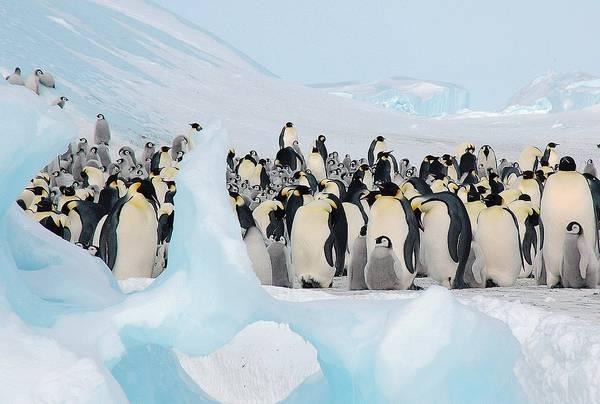 Императорские пингвины сбились в группу фото (лат. Aptenodytes forsteri)
