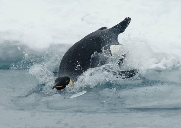 Императорский пингвин прыгает в воду фото (лат. Aptenodytes forsteri)