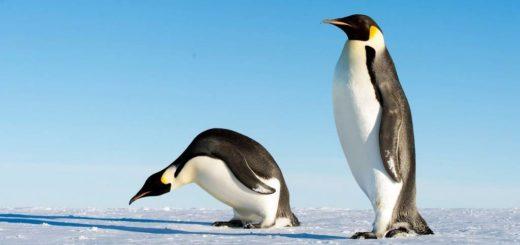 Императорский пингвин фото (лат. Aptenodytes forsteri)