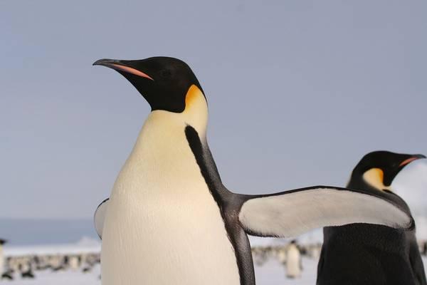 Крылья императорского пингвина фото (лат. Aptenodytes forsteri)