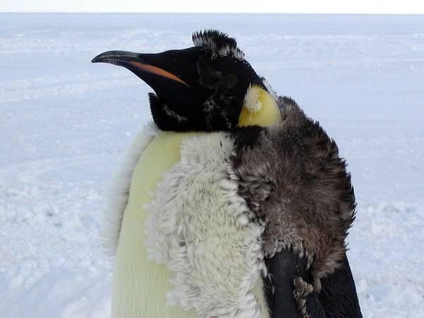 Линька императорского пингвина фото (лат. Aptenodytes forsteri)